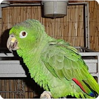 Adopt A Pet :: HAROLD - Vancouver, WA