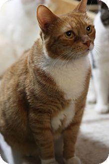 Domestic Shorthair Cat for adoption in Bronx, New York - Tammy