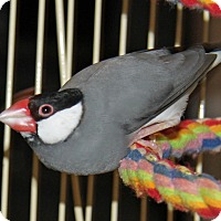 Adopt A Pet :: Finches - St. Louis, MO