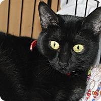Adopt A Pet :: Sheba - Chicago, IL