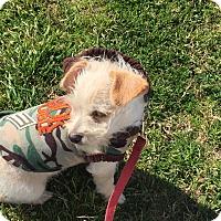 Adopt A Pet :: Lil Bit - Lockhart, TX