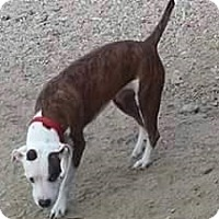 Boxer Mix Dog for adoption in Tucson, Arizona - Antics
