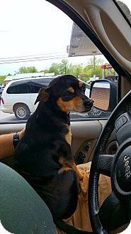 Chihuahua/Miniature Pinscher Mix Dog for adoption in Sussex, New Jersey - Bandit