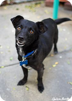 Dachshund/Chihuahua Mix Dog for adoption in Los Angeles, California - Jordan