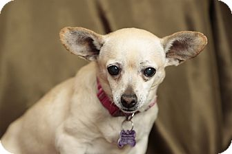 Chihuahua Mix Dog for adoption in Tehachapi, California - Joonie
