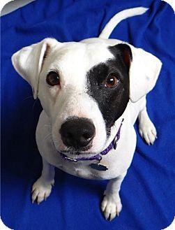 Smooth Fox Terrier Dog for adoption in Seal Beach, California - Wyatt