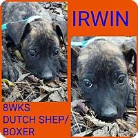 Adopt A Pet :: IRWIN - Pomfret, CT