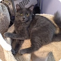 Russian Blue Cat for adoption in Brea, California - SMOKEY