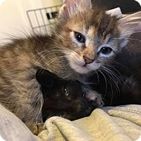 Domestic Shorthair Kitten for adoption in Bensalem, Pennsylvania - Cherish and Chance
