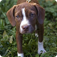Boston Terrier/Beagle Mix Puppy for adoption in St. Louis Park, Minnesota - Carly