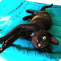 Domestic Shorthair Kitten for adoption in Duluth, Georgia - Miss Dynamite