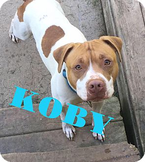 Pit Bull Terrier Mix Dog for adoption in Grand Ledge, Michigan - Koby