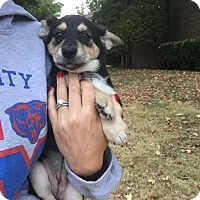 Adopt A Pet :: Bambi - oklahoma city, OK