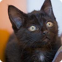 Adopt A Pet :: Licorice - Los Angeles, CA