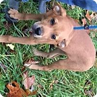Hound (Unknown Type)/Labrador Retriever Mix Puppy for adoption in Stafford, Virginia - Hanz