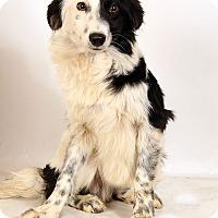 Adopt A Pet :: Dallas Mini Aussie - St. Louis, MO