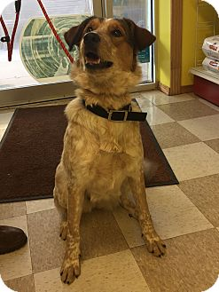 Cattle Dog/Great Pyrenees Mix Dog for adoption in Kingman, Kansas - Ruby