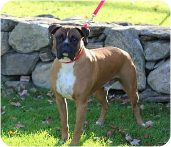 Boxer Dog for adoption in Grafton, Massachusetts - Fatboy