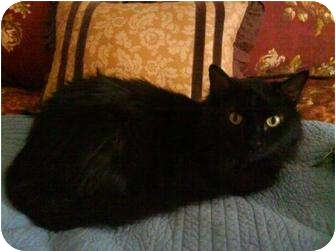 Domestic Longhair Cat for adoption in Chattanooga, Tennessee - Ms. Pepper