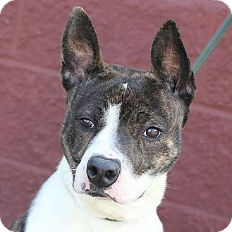 Pit Bull Terrier Mix Dog for adoption in Springfield, Illinois - Gilmore - Happy and Fun-loving