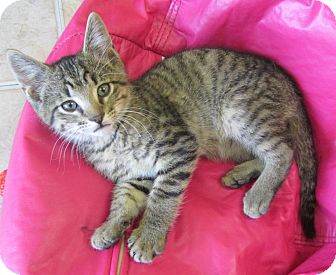 Domestic Shorthair Kitten for adoption in Mobile, Alabama - Ben