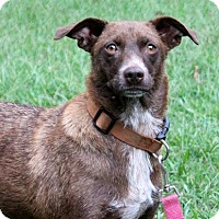 Adopt A Pet :: Twixie - Yardley, PA