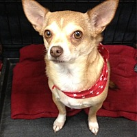 Chihuahua Mix Dog for adoption in Bedford, Texas - Daisy Mae