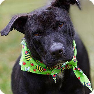 Labrador Retriever Mix Dog for adoption in Minneapolis, Minnesota - Cora