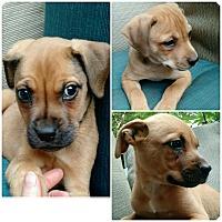 Adopt A Pet :: Desi - Bernardston, MA
