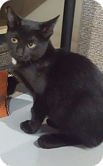 Domestic Shorthair Kitten for adoption in Port Huron, Michigan - CoCo