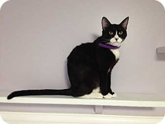 Domestic Shorthair Cat for adoption in Bluefield, West Virginia - Sylvester