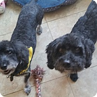 Poodle (Miniature) Dog for adoption in temecula, California - buddy/shrek
