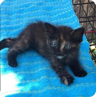 Domestic Mediumhair Cat for adoption in Bogalusa, Louisiana - Princess Tiana