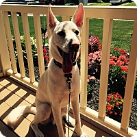 Belgian Shepherd Mix Dog for adoption in Holland, Pennsylvania - Cody