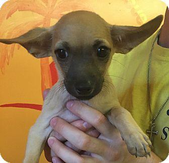 Chihuahua Mix Puppy for adoption in Boca Raton, Florida - Rita