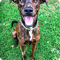 Catahoula Leopard Dog Mix Dog for adoption in Fredericksburg, Texas - Tebow