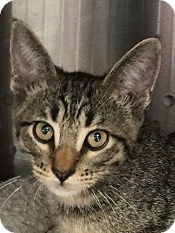 Domestic Shorthair Kitten for adoption in Fort Worth, Texas - Tiger