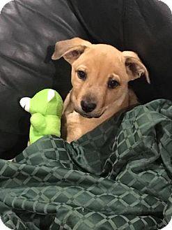 Shepherd (Unknown Type)/Labrador Retriever Mix Puppy for adoption in Wedgefield, South Carolina - Keiko