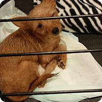 Adopt A Pet :: Desi - Springfield, VA