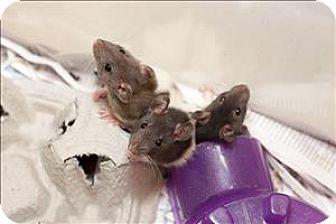 Rat for adoption in Concord, New Hampshire - Raisinet 7