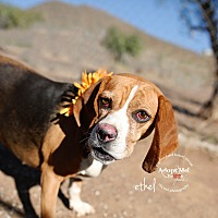 Basset Hound Mix Dog for adoption in Acton, California - Ethel