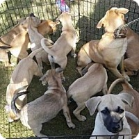 Adopt A Pet :: Ross - Elmsford, NY
