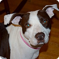 Adopt A Pet :: DAISY - Waterbury, CT