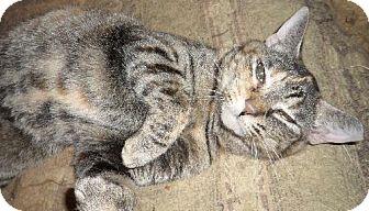 Domestic Shorthair Cat for adoption in Cypress, Texas - Esmerelda