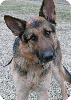 German Shepherd Dog Dog for adoption in Nashville, Tennessee - Windsor