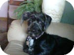 Scottie, Scottish Terrier/Terrier (Unknown Type, Medium) Mix Dog for adoption in RENO, Nevada - TESS