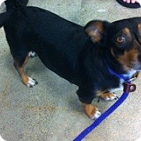 Adopt A Pet :: Daisy - Tustin, CA