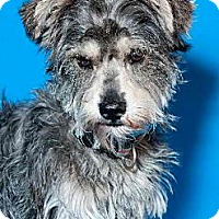 Adopt A Pet :: Bowzer the Schnauzer - Phoenix, AZ