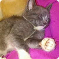 Adopt A Pet :: Scamp - Bentonville, AR