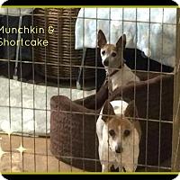 Adopt A Pet :: Munchkin - New Richmond,, WI